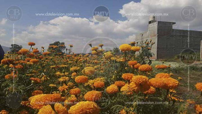Piden sembradores de flor de cempasúchil comprar directamente en los campos