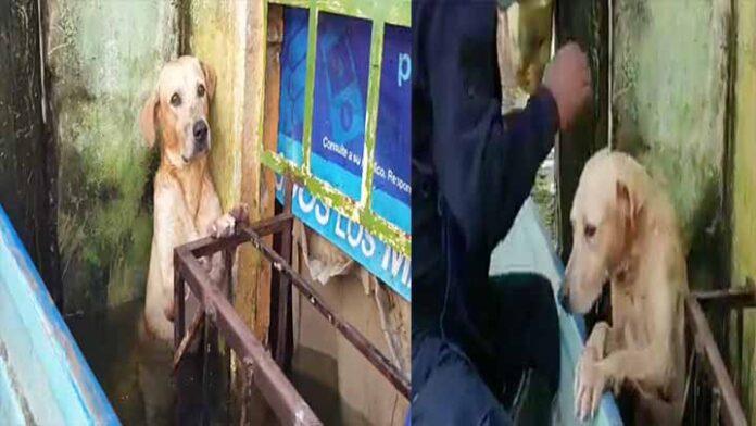 Rescatan a perrito que vuelve a buscar a su familia en inundaciones de Tabasco