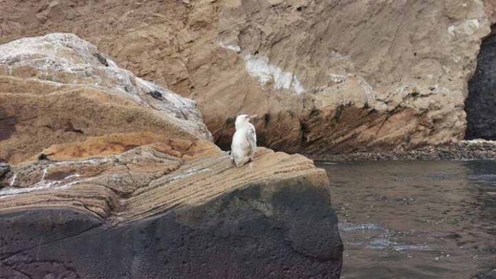 Descubren a un pingüino completamente blanco