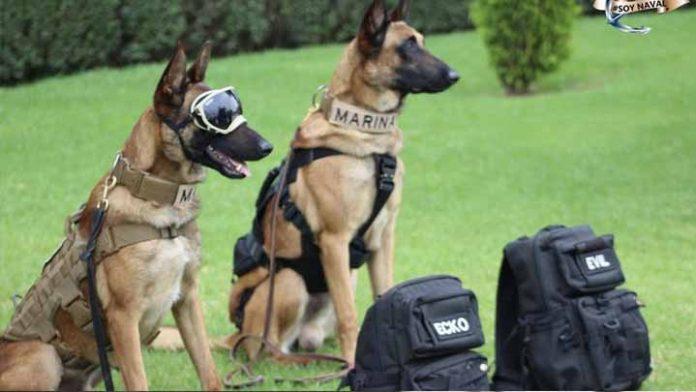 Evil y Ecko los perritos que salvaron vidas tras el desplome de la L12 del Metro