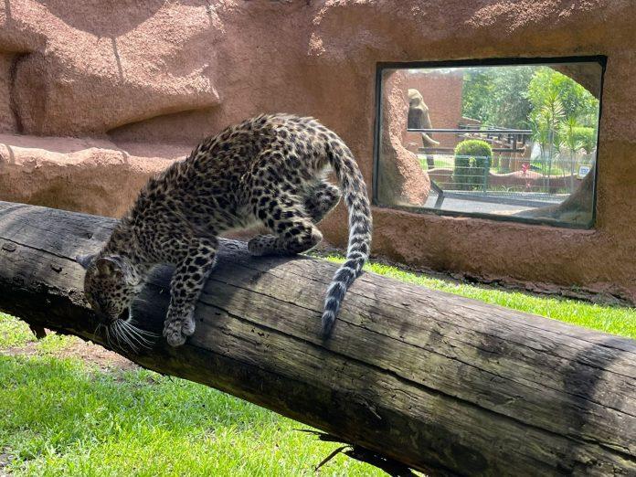 Una buena noticia, nuevo ejemplar de Leopardo llegó al zoológico de Morelia